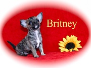 Chihuahua Welpen - Britney
