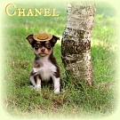Chihuahua Welpen - Chanel