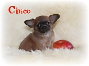 Chihuahua Welpen - Chico