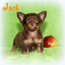 Chihuahua Welpen - Jack