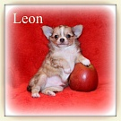 Chihuahua Welpen - Leon