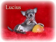 Chihuahua Welpen - Lucius