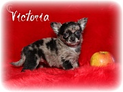 Chihuahua Welpen - Victoria